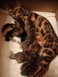 Симпатичные бенгальские котята